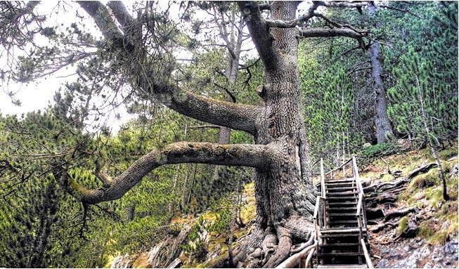 Самые старые деревья в болгарии